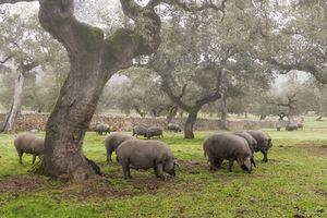 La alimentación de los cerdos ibéricos se basa en las bellotas