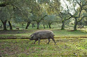 Descubre el origen del cerdo ibérico