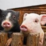 ¿Qué comen los cerdos ibéricos de TuJamonDirecto?