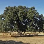 Características de la encina, el árbol de la bellota