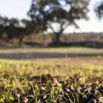Las lluvias otoñales y su beneficio para la montanera del cerdo ibérico