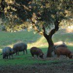 El censo del cerdo ibérico aumenta un 5% en Salamanca en 2016