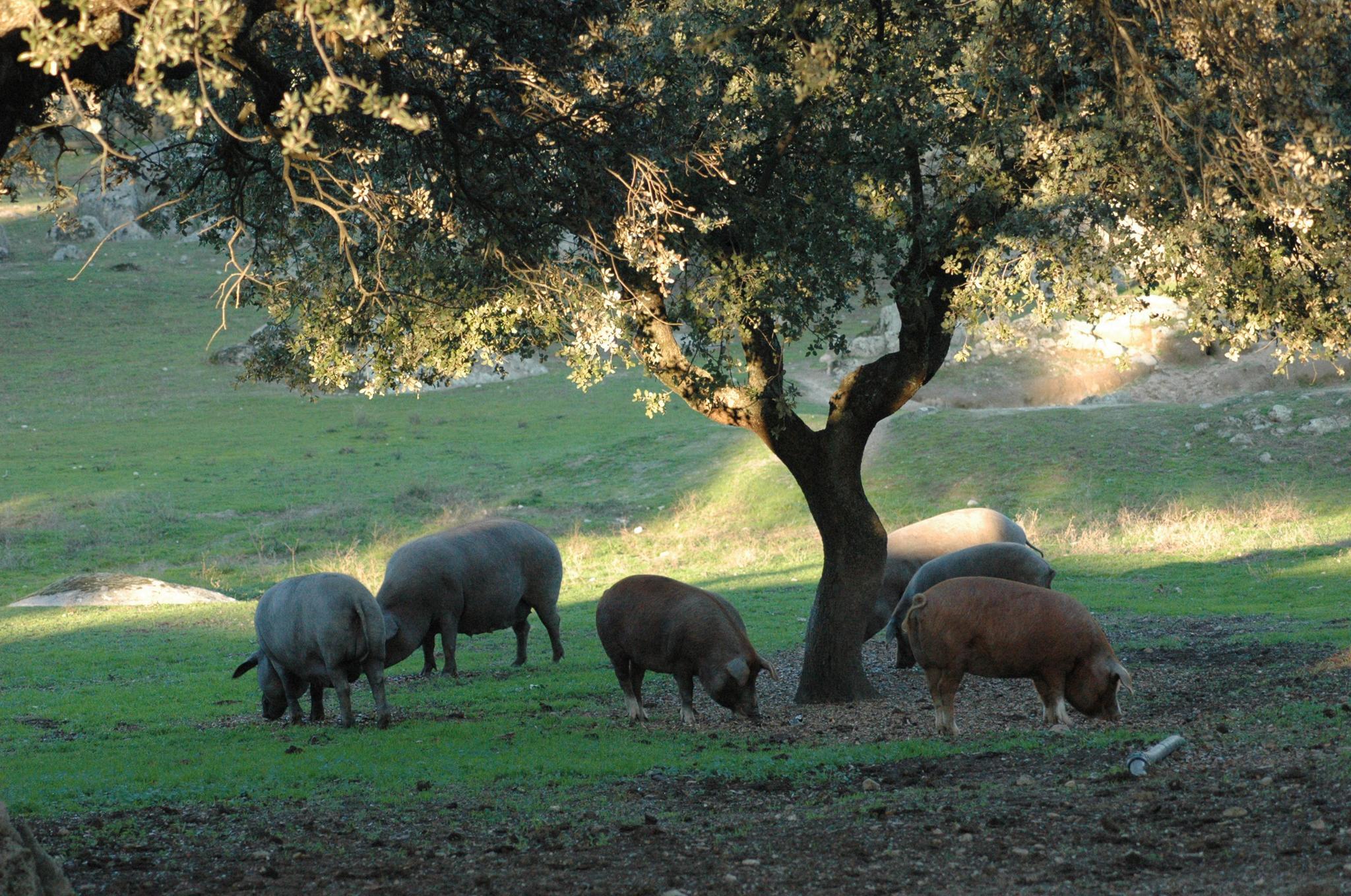 Gracias al aumento del censo del cerdo ibérico, se incrementará la producción de productos ibéricos.