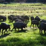 El cerdo ibérico: ¿patrimonio nacional o del mundo?